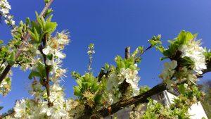 soleil-printemps-arbre-fleurit