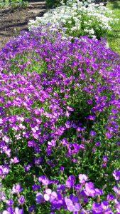 printemps-fleurit